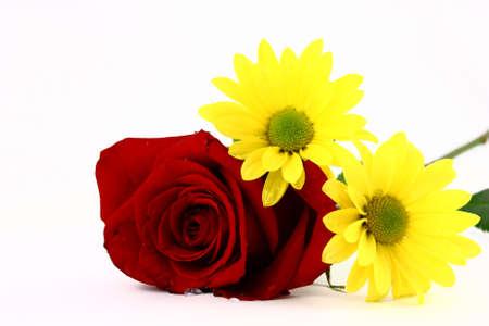 Een Rode Roos En Twee Gele Madeliefjes Geïsoleerd