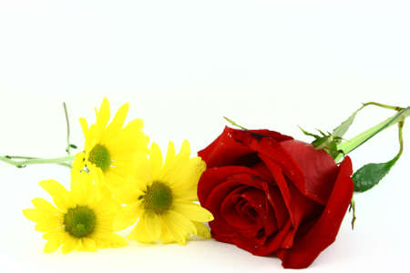 Three Yellow Daisies And One Red Rose On White Stock Photo