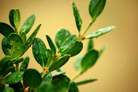 Wet Leaves Of A Small Boxwood Bush Stock Photo