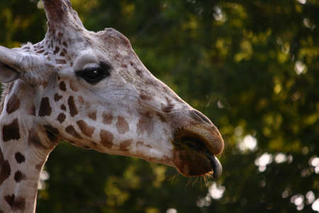 Close up photo of a giraffe with tongue sticking out. Stock Photo
