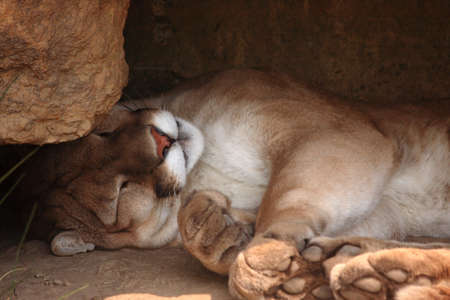 A sleeping mountain lion in a small cave inside his zoo enclosure.