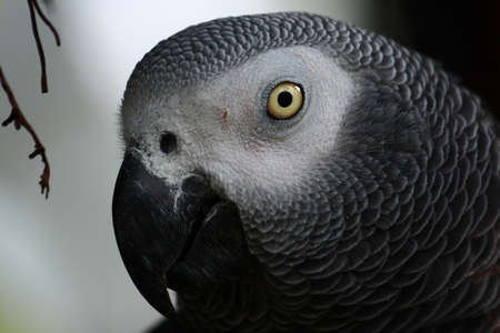 gray: A close up photo of the face of an African gray parrot. Stock Photo