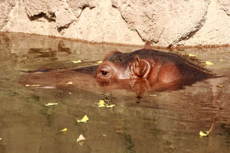 A hippopotamus swimming in the cool water of his zoo enclosure on a hot summer day.