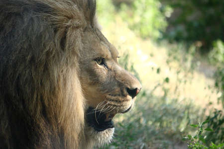 A profile photo of a large male lion behind the glass of his zoo enclosure.