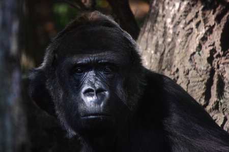 A large black gorilla sitting in the shadows of his zoo enclosure and looking into the camera.