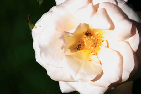 White Rose With Bugs