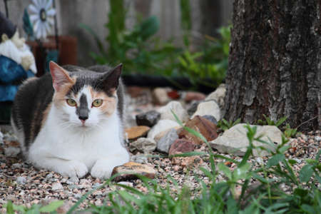 calico cat: A young calico cat relaxing outdoors  Stock Photo