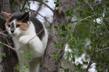 A curious calico cat climbing among the branches of a small tree