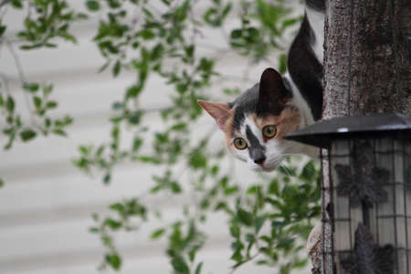 A calico cat explores a bird feeder in the branches of a small tree  Stock Photo