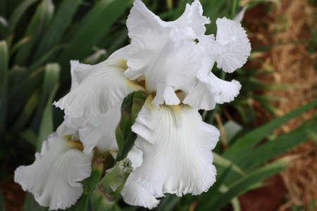 perennial: A white bearded iris in a summer garden  Stock Photo