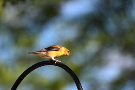 goldfinch: American Goldfinch Stock Photo