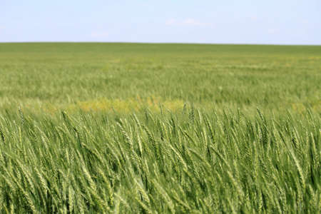 A vast field of green Kansas wheat on a bright spring day  Stock Photo