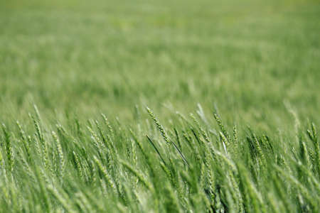 A close up detail of a green Kansas wheat field in the late spring  photo