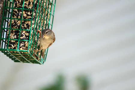 A tiny tree sparrow on a backyard bird feeder.