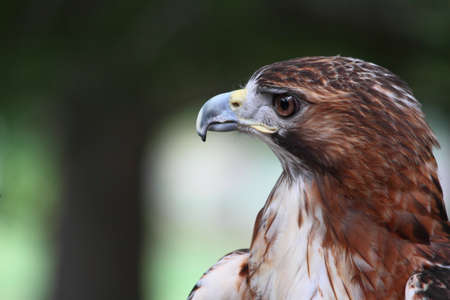 Red Tail Hawk Close-Up