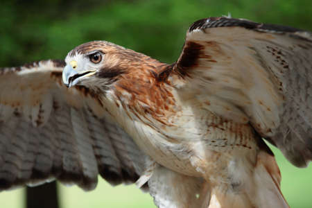 Red Tail Hawk With Wings Spread