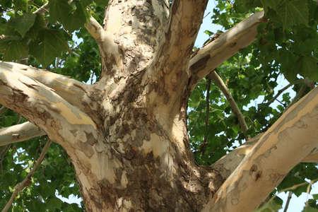 London Plane Tree Bark Stockfoto