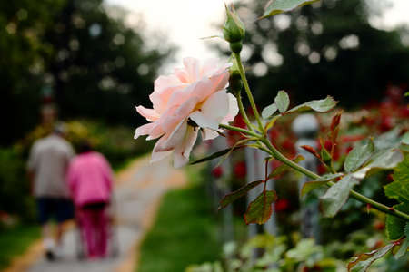 Elderly Mother And Son In Rose Garden