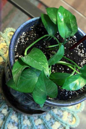 Small Pothos Houseplant Stock Photo