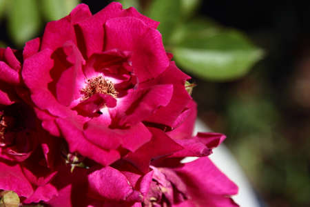 Old Roses In The Summer Garden Stock Photo