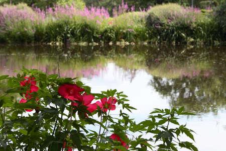Rode bloemen op de rand van een vijver Stockfoto