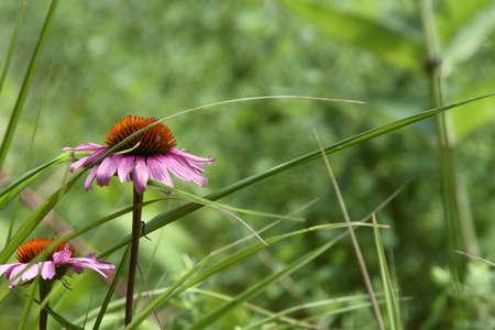coneflower: Purple Coneflower