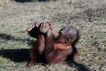 Two Year Old Orangutan Rolling On The Ground Stock Photo