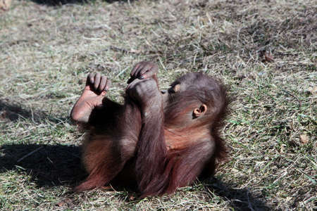 Young Orangutan Lying On The Ground