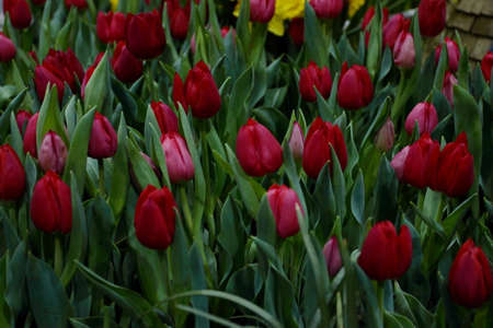 Garden Bed Filled With Tulips