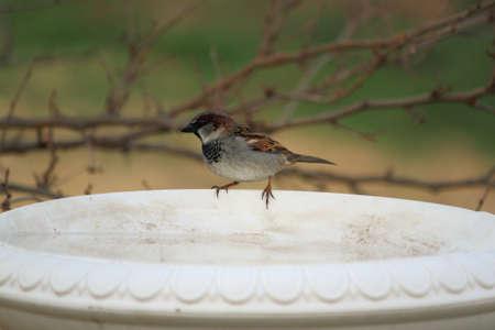 House Sparrow On Birdbath Stock Photo