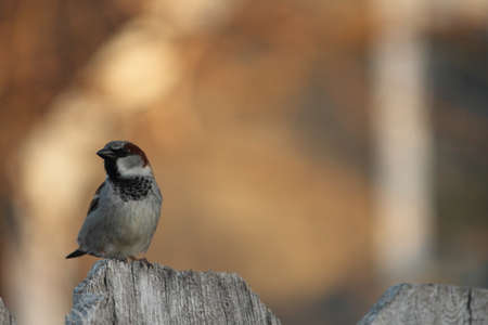 House Sparrow On Wooden Fence