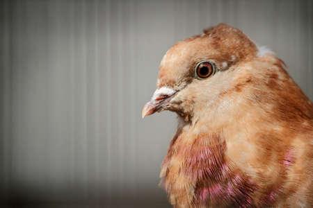 Rock Pigeon Close-Up