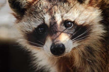 Sad Looking Raccoon Close-Up Stock Photo