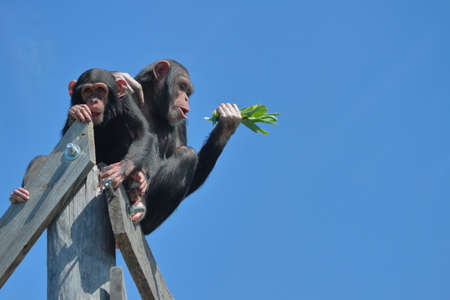 Two Chimps High Up Against Blue Sky Stock Photo