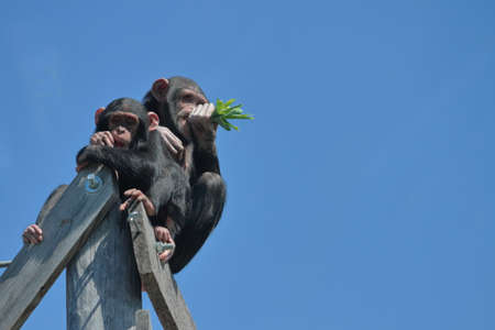 Chimpanzees Eating Green Leaves Stock Photo
