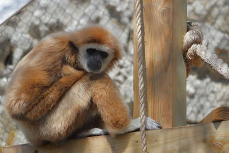 Gibbon In The Zoo Stock Photo