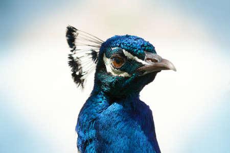 Peacock Face CloseUp
