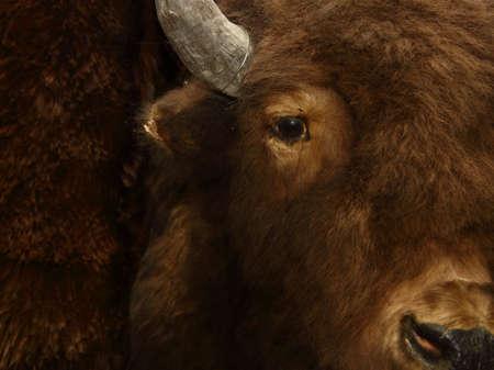 Buffalo Face Taxidermy Stock Photo