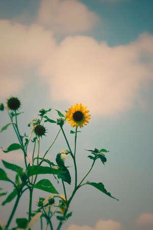 Summer Sunflowers Against Cloudy Blue Sky