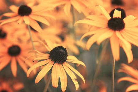 Black Eyed Susan Flowers Stock Photo