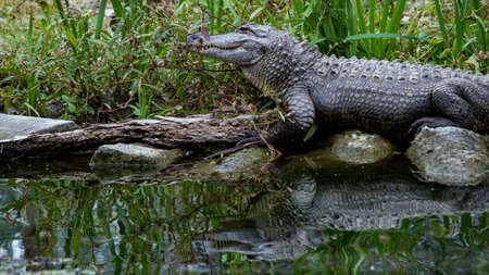 American Alligator Reflected In Dark Water Stock Photo