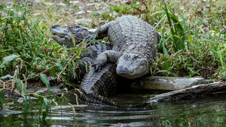 alligators: Two American Alligators On The Bank