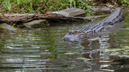 American Alligator Swimming Into A Dark Pool Of Water