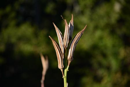 Dried Okra Plant
