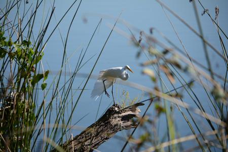 Beautiful White Crane on the lake