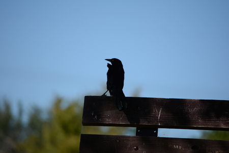 Crow Silouette taking a rest