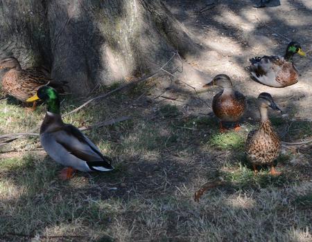 Ducks at City Park