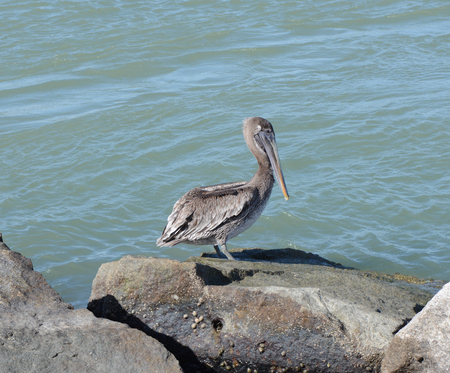 Tired pelican resting on a rock Reklamní fotografie