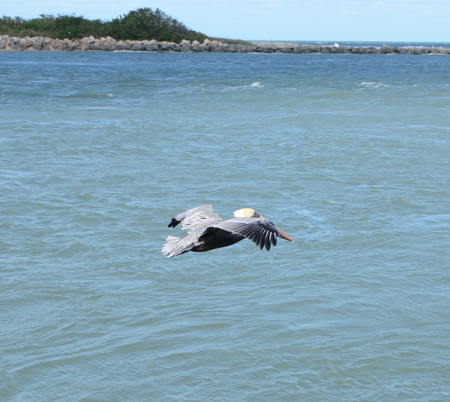 Flying pelican looking for a fish