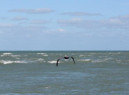 Beautiful Pelican in Flight
